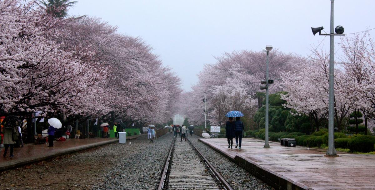 Jinhae Cherry Blossom Festival Take 2!
